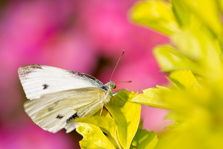 pieris: Beautiful butterfly - Pieris canidia, photo taken in Taiwan