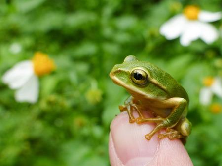 Little cute Emerald tree frog sit on finger, photo taken at Taipei, Taiwan