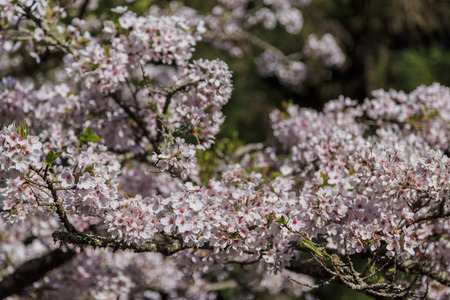 ali: Cherry tree blossom at ali mountain of Taiwan Stock Photo