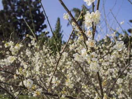 plum flower: White Plum flower blossom, photo taken in morning, Taiwan