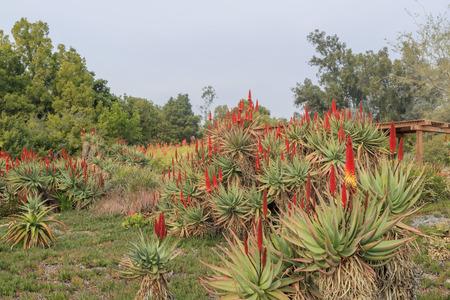 los angeles county: Aloe Blossom at Los Angeles County Arboretum & Botanic Garden Stock Photo