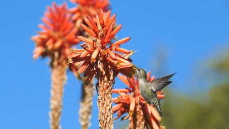 and magnificent: Magnificent hummingbird and red flower, photo taken at Los Angeles