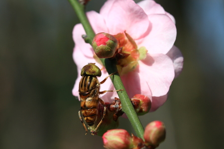 plum flower: Pink plum flower and fly close up shot, Taiwan Stock Photo