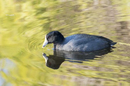 fulica: Fulica atra swimming with beautiful reflection, California