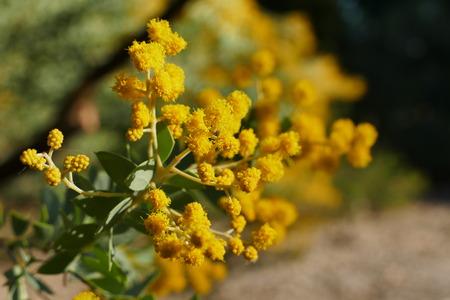 Australia plants - Yellow early black wattle blossom