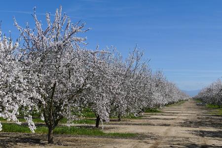 Beautiful Peach farm Blossom around Fresno, California