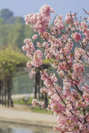 balboa: Cherry Tree super blossom at Lake Balboa, Los Angeles, California
