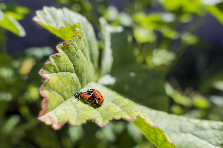 sexual intercourse: A pair of ladybird beetles mating on a leaf in spring, morning sunlight