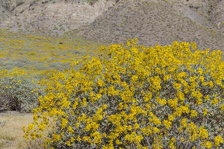whitewater: Little yellow Brittlebush blossom at Whitewater, Palm Springs, California