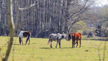 ニュー フォレスト国立公園、イギリスで野生の馬