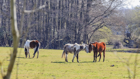 Wild horses in New Forest National Park, UK