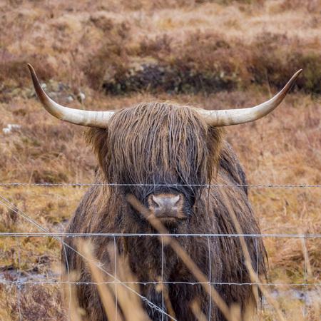 Speical cute highland hairy cow at Scotland