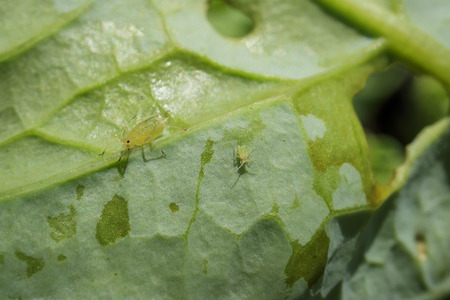 harming: Pests - Aphid on the Kale, harming the plant Stock Photo