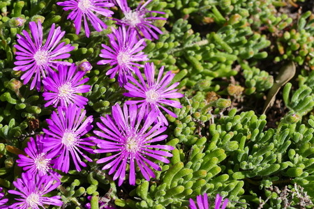 ice plant: Beautiful Ice plant, orginal from South Africa, saw at Los Angeles