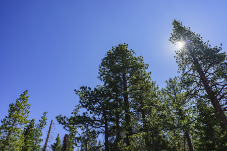 inyo national forest: pine trees with blue sky and sun in Devils Postpile National Monument
