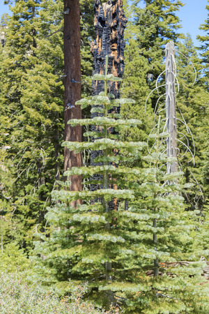 inyo national forest: pine trees Stock Photo