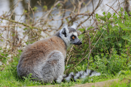 The Ring Tailed Lemur in the beautiful West Midland Safari Park on APR 23, 2016 at Spring Grove, United Kingdom Editorial