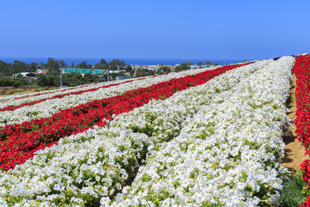 flower fields: The beautiful Flower Fields at Carlsbad, California