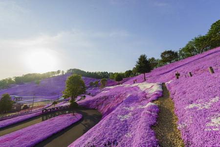 The beautiful pink Shiba Sakura at Hokkaido, Japan Editorial