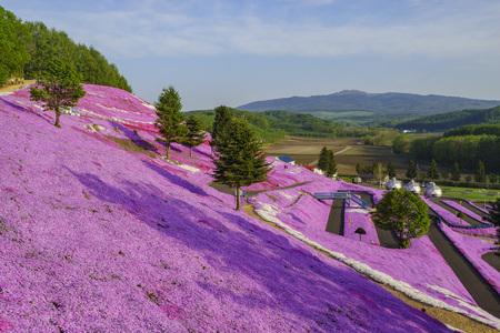 The beautiful pink Shiba Sakura at Hokkaido, Japan 新聞圖片