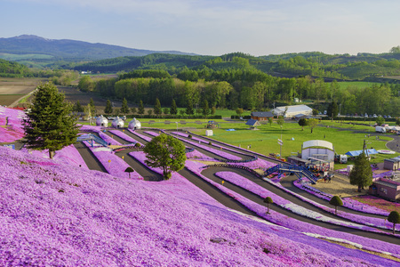 The beautiful pink Shiba Sakura at Hokkaido, Japan 에디토리얼