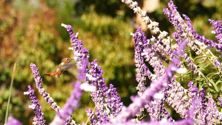 telezoom: Magnificent hummingbird and purple sage flower, photo taken at Los Angeles Stock Photo