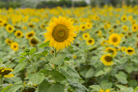 county side: Close up shoot of Sunflower farm,  Taiwan
