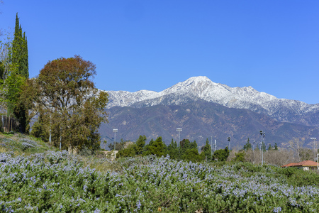 Beautiful snowy Mount Baldy with some blue flowers below, view from Rancho Cucamonga