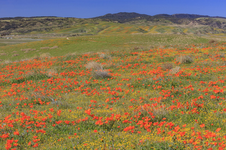 county side: Wild flowers (Poppy) at Antelope Valley, California