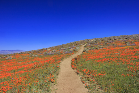 Wild flowers (Poppy) at Antelope Valley, California