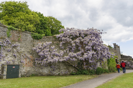 Clare, MAY 7: Wisteria blossom in the historical Bunratty Castle & Folk Park on MAY 7, 2017 at County Clare, Ireland
