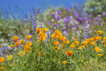 Lots of wild flower blossom (Perennial Lupine and poppy flowers) at Diamond Valley Lake, California