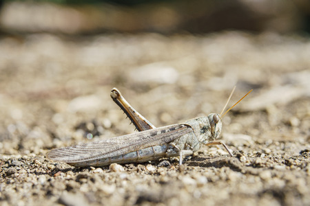 One legged brown grasshopper  on the ground
