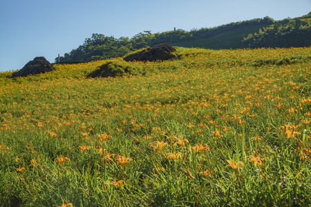 Daylily flower at sixty Stone Mountain in Hualien, Taiwan
