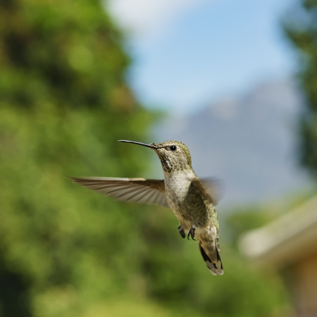 Female Annas Hummingbird hover in air, saw at Los Angeles, California, United States