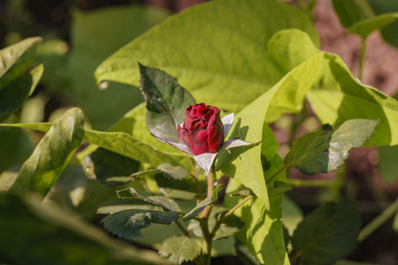 Close up shot of a mini rose bud at home graden