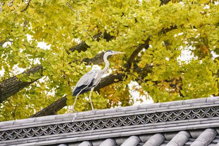 Beautiful Ardea cinerea and ginkgo tree turning into yellow on Autumn, at Nishi Hongan-ji, Kyoto, Japan Editorial