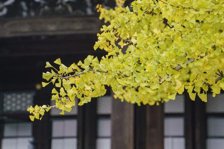 Beautiful ginkgo tree turning into yellow on Autumn, at Nishi Hongan-ji, Kyoto, Japan