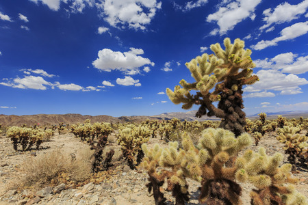 Morning view of the Cholla Cactus Garden in Joshua Tree National Park, California
