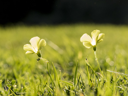 macro shot of Oxalis corniculata blossom