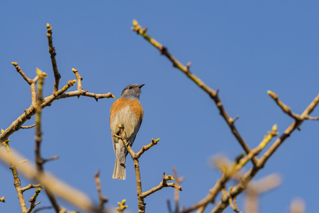 Eastern Bluebird sitting on the branch
