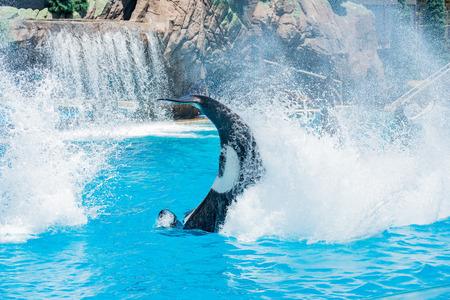 San Diego, JUN 27: Killer whales shows in the famous SeaWorld on JUN 27, 2018 at San Diego, California Editorial