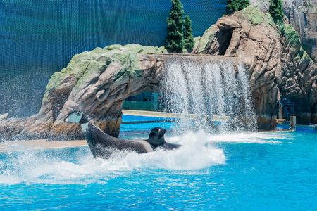 San Diego, JUN 27: Killer whales shows in the famous SeaWorld on JUN 27, 2018 at San Diego, California Editorial