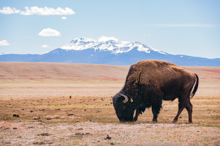 Single Bison eating grass on the field, with snowy mountain as background at Manitou Springs, Colorado Editorial