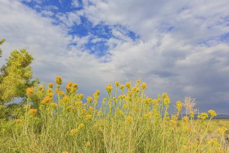 Beautiful Rubber rabbitbrush yellow flower blossom in summer at Mono Lake, California