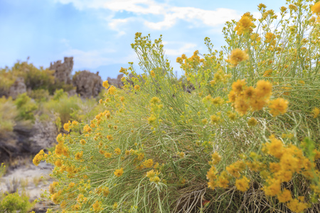 Beautiful Rubber rabbitbrush yellow flower blossom in summer at Mono Lake, California
