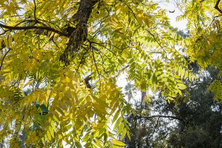 Beautiful fall color of a big Black walnut at Los Angeles, California Standard-Bild