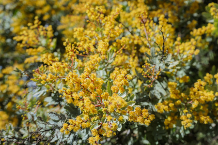 The beautiful Acacia chinchillensis (chinchilla wattle) blossom at Los Angeles, California Zdjęcie Seryjne