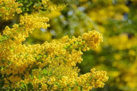 The beautiful Acacia chinchillensis (chinchilla wattle) blossom at Los Angeles, California Reklamní fotografie