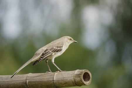 Northern Mockingbird sitting on a bamboo at Los Angeles, California Stock Photo